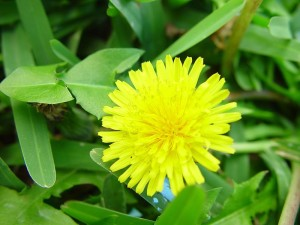 Health Benefits of Dandelion Greens