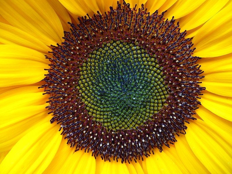sunflower seeds and oil health benefits